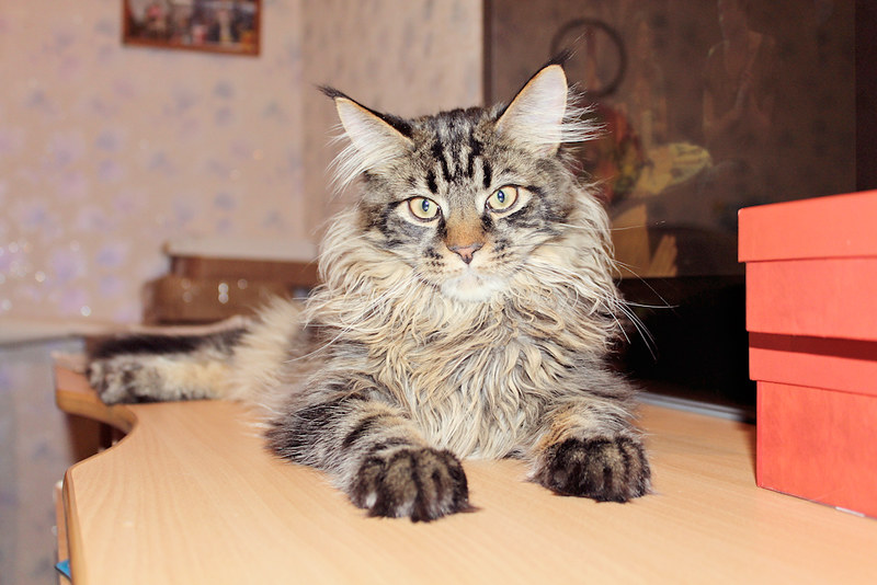 cat, Jacob, kitten, Maine Coon