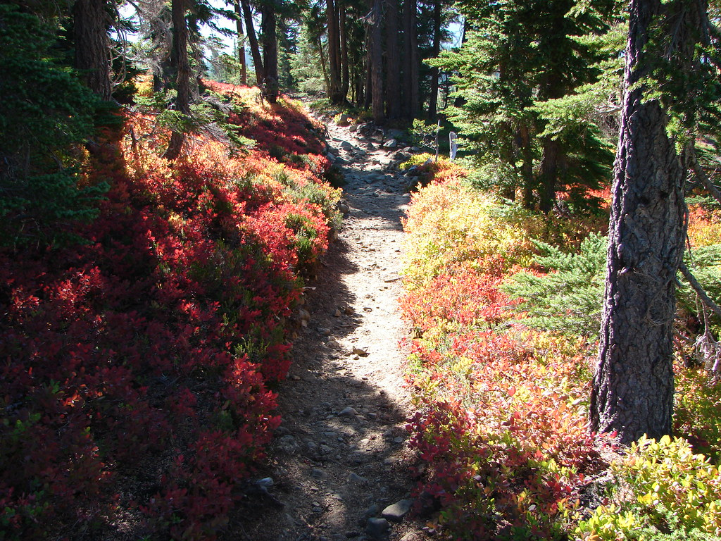 Huckleberry bushes along the Pacific Crest Trail