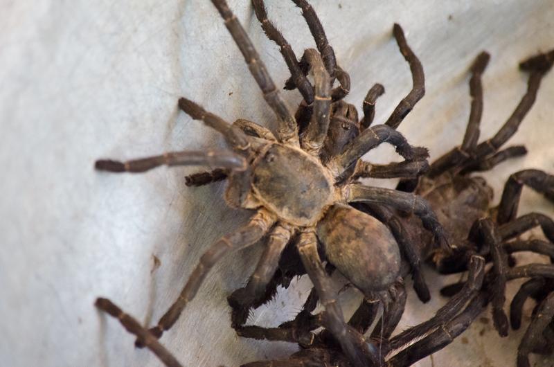 Cambodian Tarantula