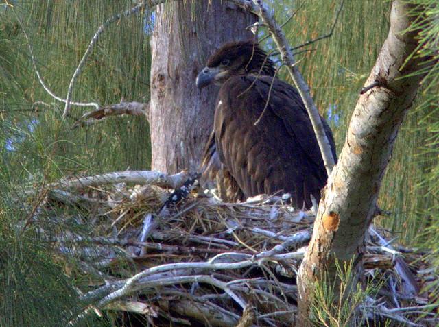 Bald Eaglet 2-20130310