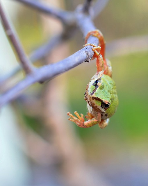 Flailing Frog