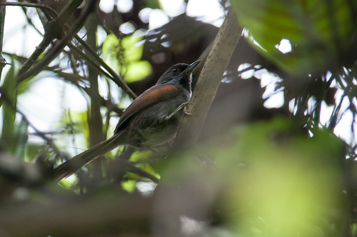 birds animals ecuador loja animalia vertebrates furnariidae ovenbirdsandwoodcreepers blackishheadedspinetail synallaxistithys
