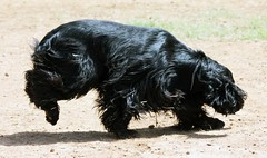 dog breed, animal, dog, schnoodle, boykin spaniel, pet, tibetan terrier, havanese, schnauzer, field spaniel, english cocker spaniel, blue picardy spaniel, spaniel, affenpinscher, carnivoran, black, scottish terrier,