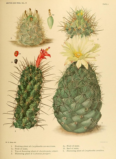 The Cactaceae : descriptions and illustrations of plants of the cactus family v.4