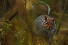 Grey Squirrel at Adel Nature Reserve