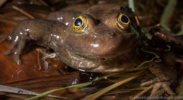Oregon Spotted Frog, Parsnip Lakes, Oregon