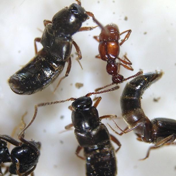 アリの巣の虫たち。多分全部普通種