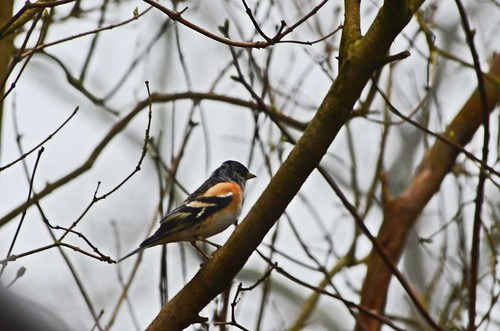 Brambling by birbee