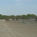Small photo of Red Hartebeest (Alcelaphus buselaphus)