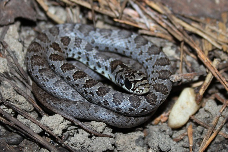 Field Herp Forum • View topic - Snakes of 2012 - Northeast