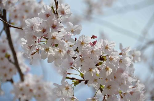 Hiroshima Sakura Blossoms