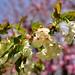 White sakura