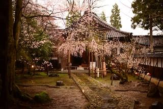 式台門のしだれ桜@城端。