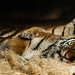 Tiger Hugs by Eve'sNature