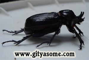 Minotaur Beetle Typhaeus typhoeus
