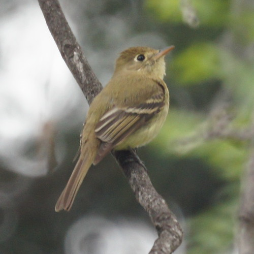 Pacific Slope Flycatcher by Mike's Birds