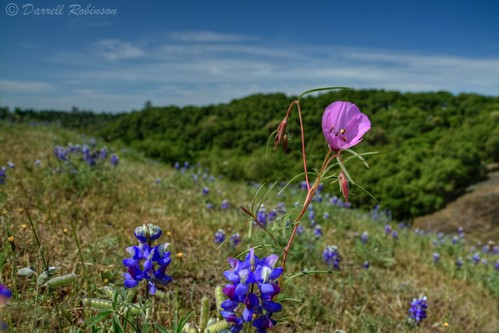 california flowers trees sky foothills nature canon spring hiking sigma seeds adobe buds wildflowers blooms clarkia wildflower lupine seedpod oroville skylupine buttecounty farewelltospring sierranevadafoothills canoneos50d lightroom3 glandularclarkia zeikos northtablemountainecologicalreserve photomatixpro4 adobephotoshopcs5 adobebridgecs5 sigma1770mmf2845dcmacrolens zeikoscpl skylupineseedpods