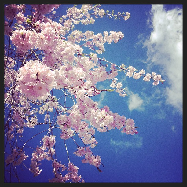 Weeping Cherry = my favorite! A gorgeous day to explore a new neighborhood  & route. #foundwhilerunning #uar