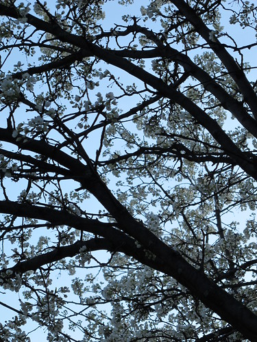 More Crabapple blooms