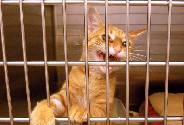 Angry Cat in Kennel