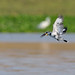 Small photo of A Pied Kingfisher with its catch