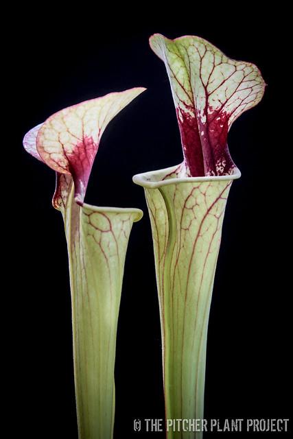 Sarracenia ('Leah Wilkerson' x orephila) x (catesbaei x oreophila)