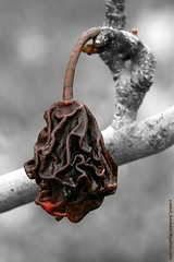 Dried fruit on the tree- mivehaye khoshk shode،golabi-