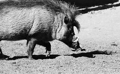 animal(1.0), pig(1.0), monochrome photography(1.0), fauna(1.0), pig-like mammal(1.0), monochrome(1.0), warthog(1.0), black-and-white(1.0),