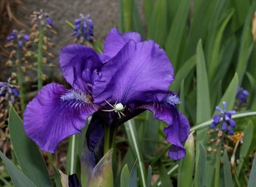 Iris nains (24)