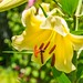 Yellow Lilly by k2parn