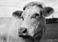 Vache - Champlemy - France - Photo of Chevannes-Changy