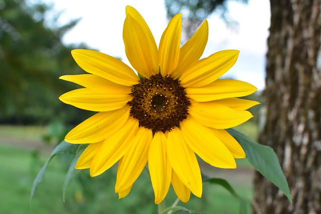Yellow wonder