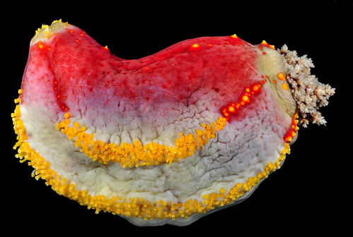 Sea apple - the most colourful sea cucumber in the world