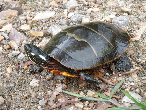 Image of Painted Turtle