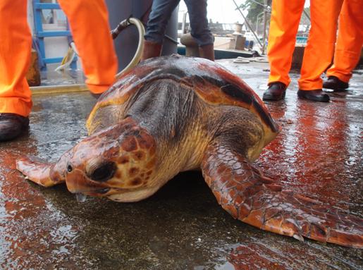誤入定置漁網的赤蠵龜