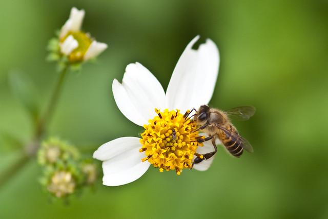 小蜜蜂~嗡嗡嗡