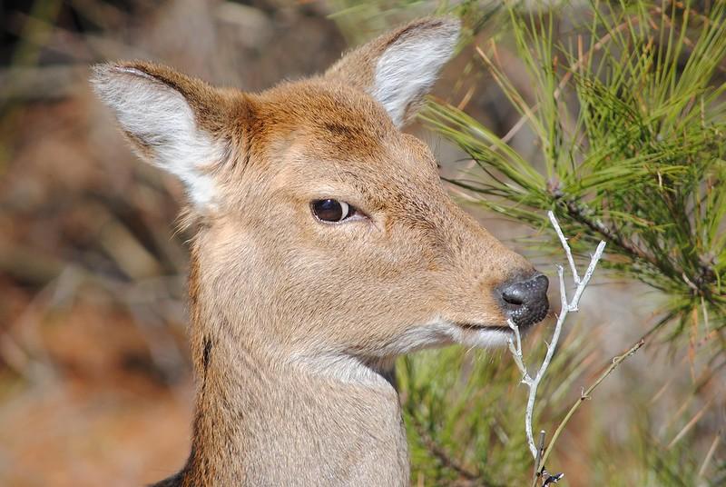 Sika Deer (Пятнистый манчжурский олень)