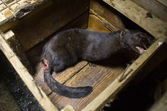 rat(0.0), animal(1.0), mustelidae(1.0), mammal(1.0), fauna(1.0), polecat(1.0), whiskers(1.0), mink(1.0),