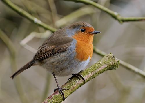 Robin by Andy Pritchard - Barrowford