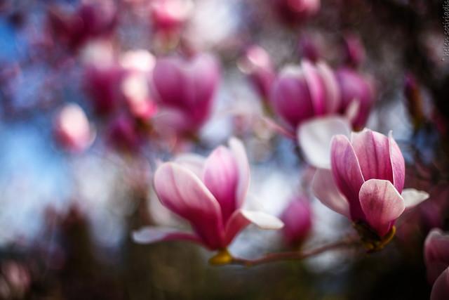 magnolias in march