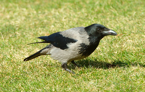 Kråka / Hooded Crow