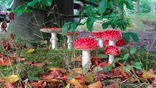 Amanita Muscaria Mushrooms, Zeist, Netherlands - 0912