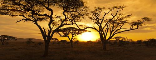 africa travel sunset vacation sky orange sun holiday tree landscape tanzania nationalpark amazing safari serengeti acacia serengetinationalpark amazingsky acaciatree photographyforrecreation
