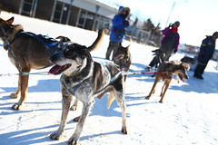 dog, winter, snow, mammal, mushing, sled dog racing,