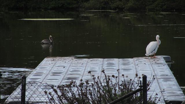 IMG_7201 white pelican UCSB lagoon pier