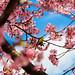 Sakura and the bird by A. Al-Zaidan