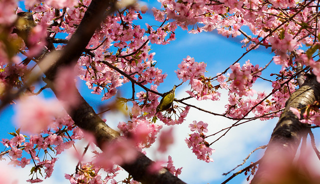 Sakura and the bird
