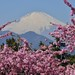 Mt Fuji and Cherry Blossom by magicflute002