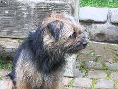 dog breed, animal, dog, norfolk terrier, border terrier, carnivoran, terrier,