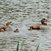 Small photo of Egyptian Geese.(Alopochen aegyptiacus)